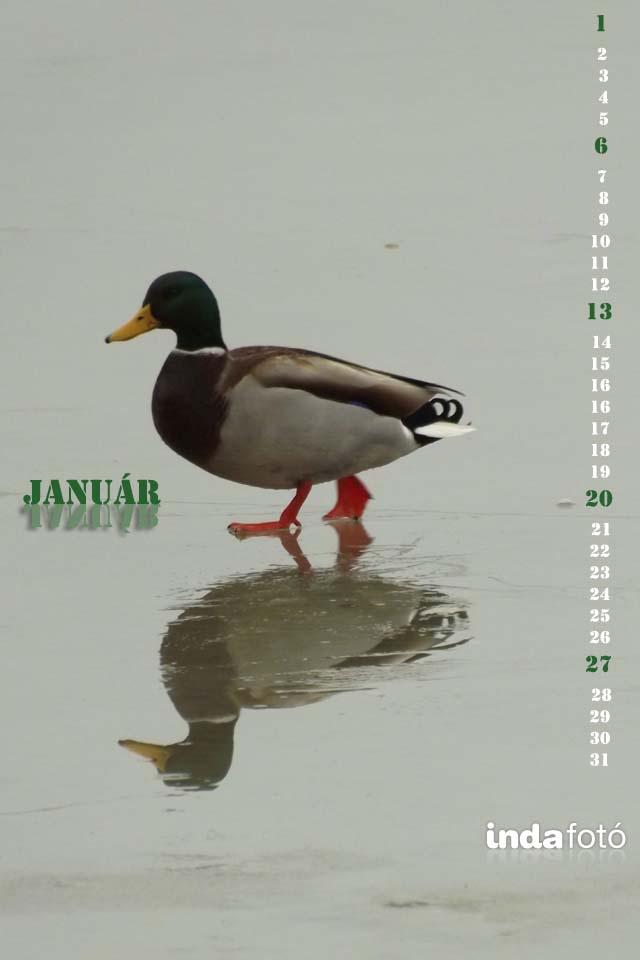 januári kacsa