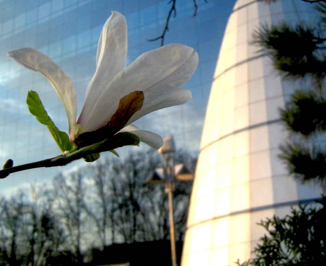 pláza tulipánfa virág