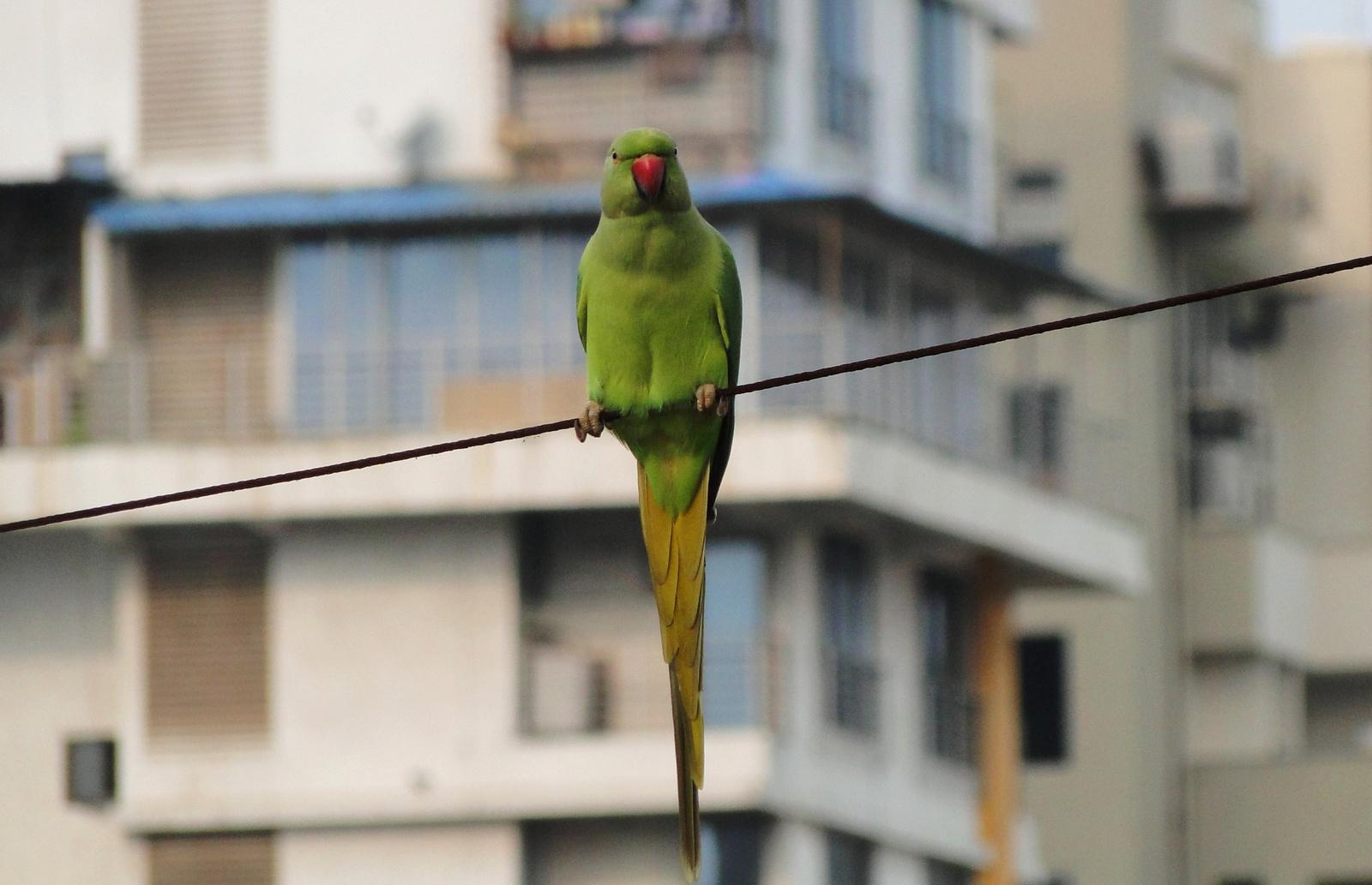 Nagy Sándor papagáj, Mumbai 2016. szept.
