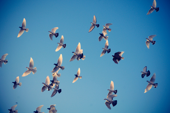 robinn25: 2011 11 11 white pigeons