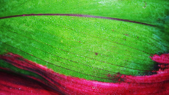 robinn25: Purple Leaf Streak