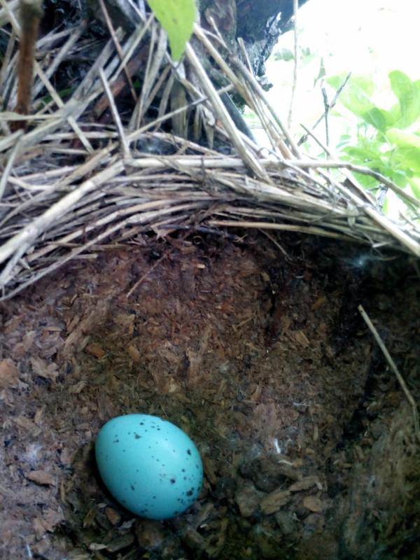 Rigófészek, egy tojással. Ha minden igaz énekesrigó a tapasztott fészek miatt. De nem most utánaolvastam szóval a feketerigó is sárral tapaszt. Az elkülönítés az hogy az énekes tojása foltmentes, a feketéjé meg foltos. Szóval feketerigó.
