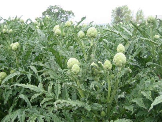 zöldség artichoke-plant.png