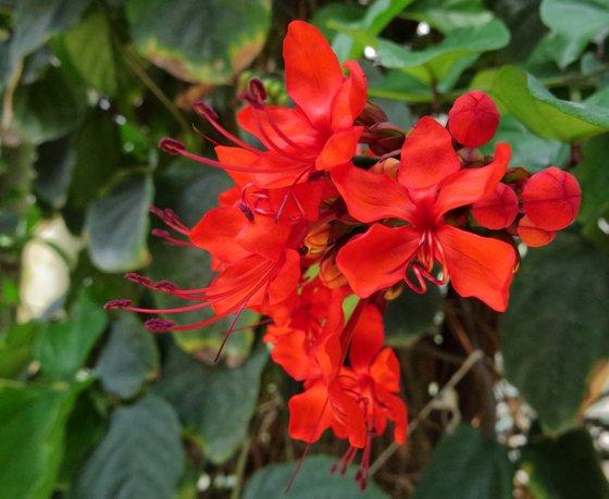 msek: Clerodendrum splendens - indafoto.hu