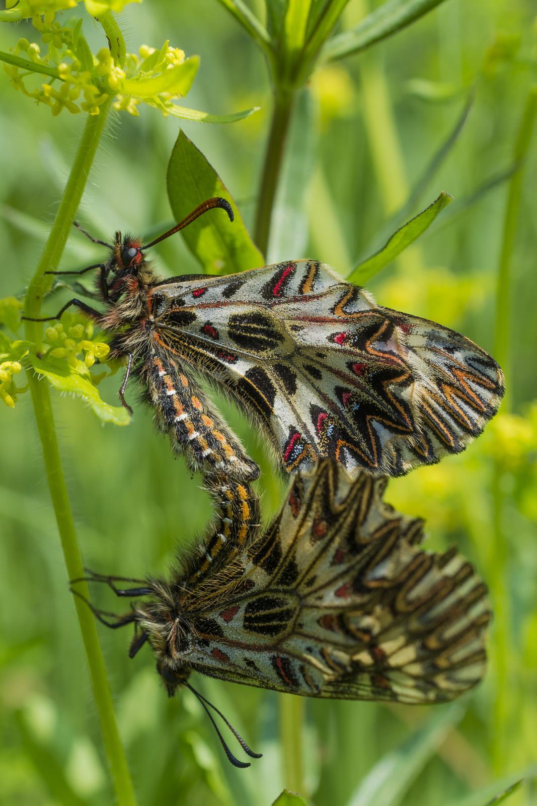 Pillangó nász