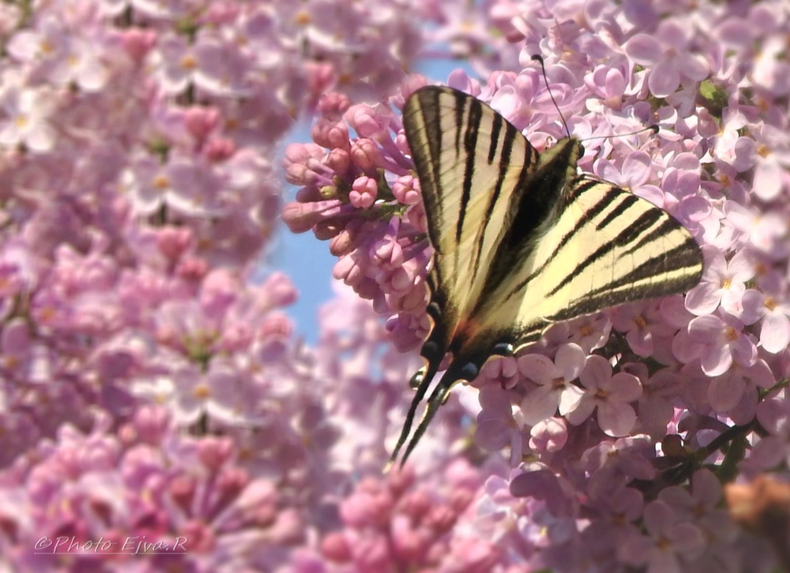 Orgona Virág Lepke Tavasz