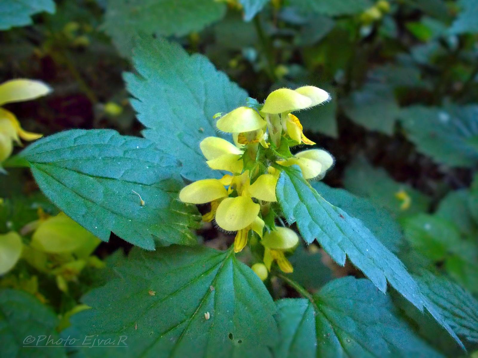 Erdei séta/ Csalán virág