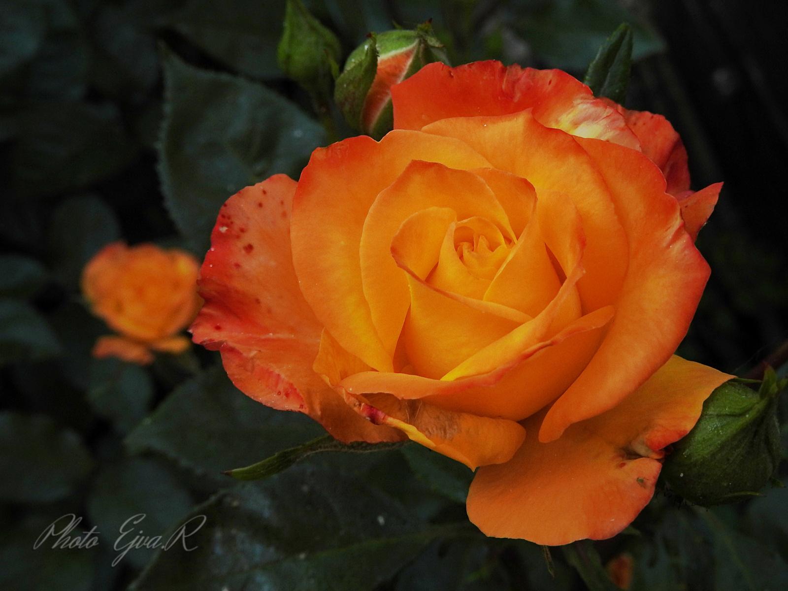 Narancssárga rózsa