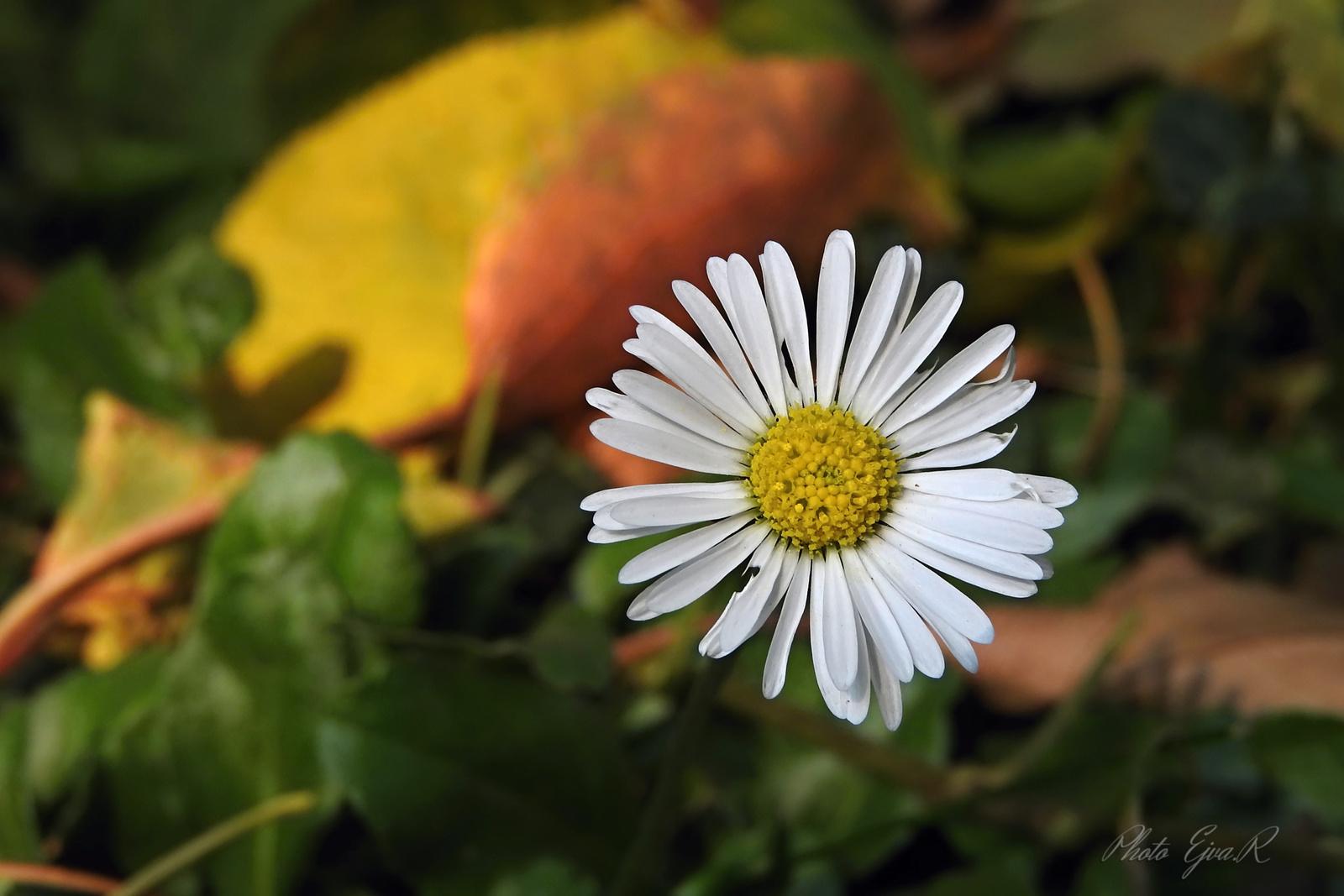 Százszorszép Ősz