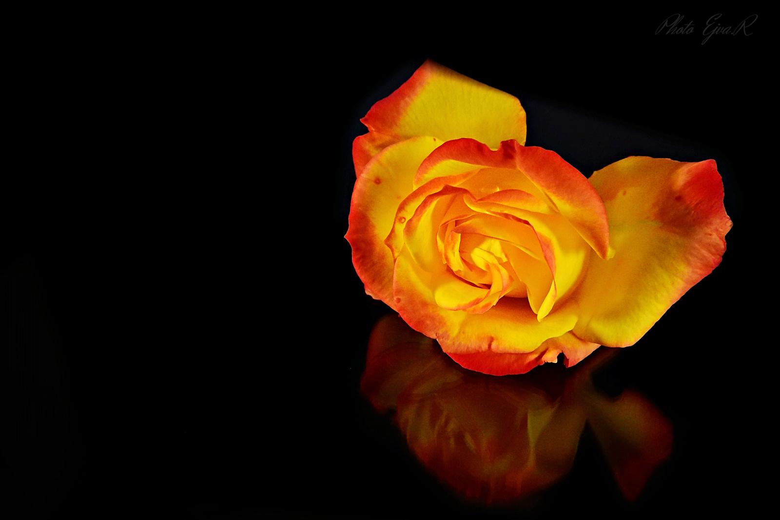 Őszi rózsácska :)