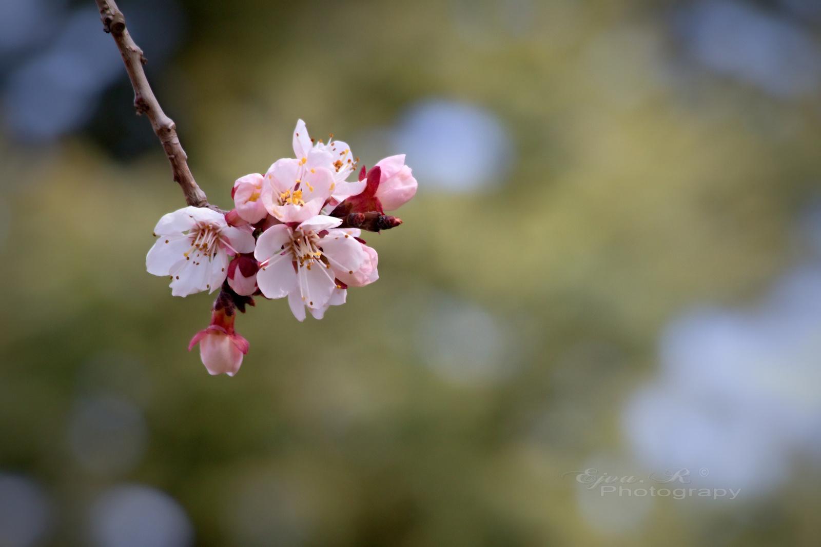 Gyümölcsfa virágok