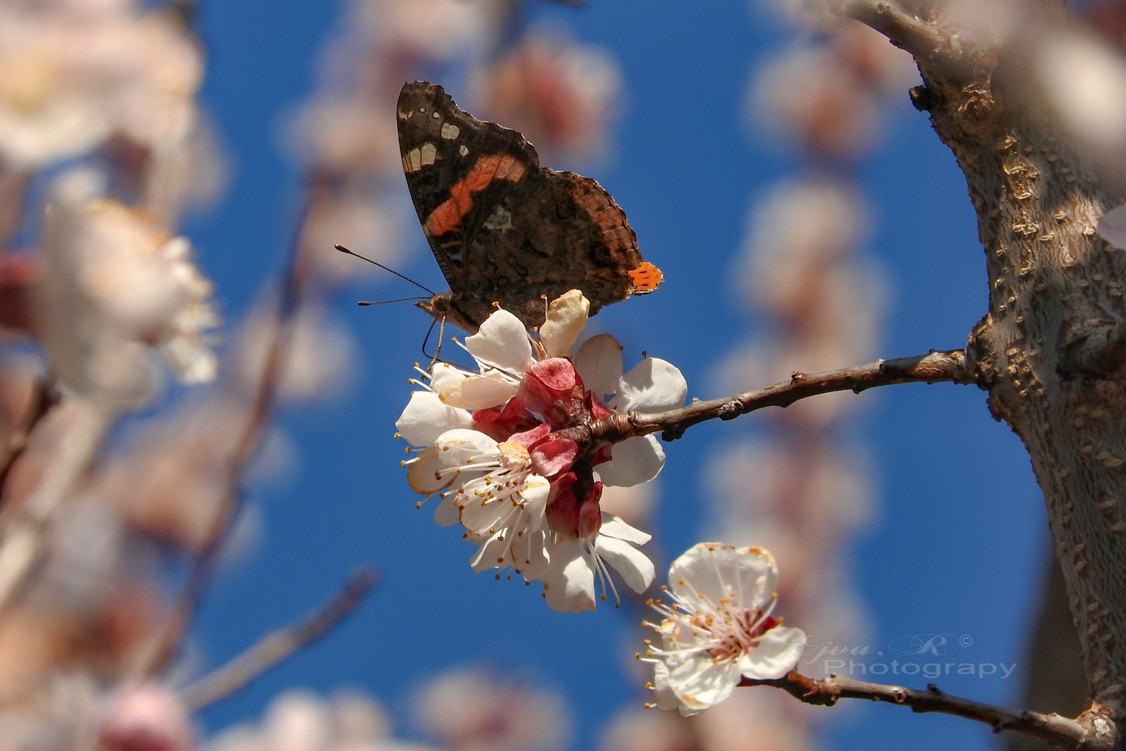 Tavasz Virágok Lepke