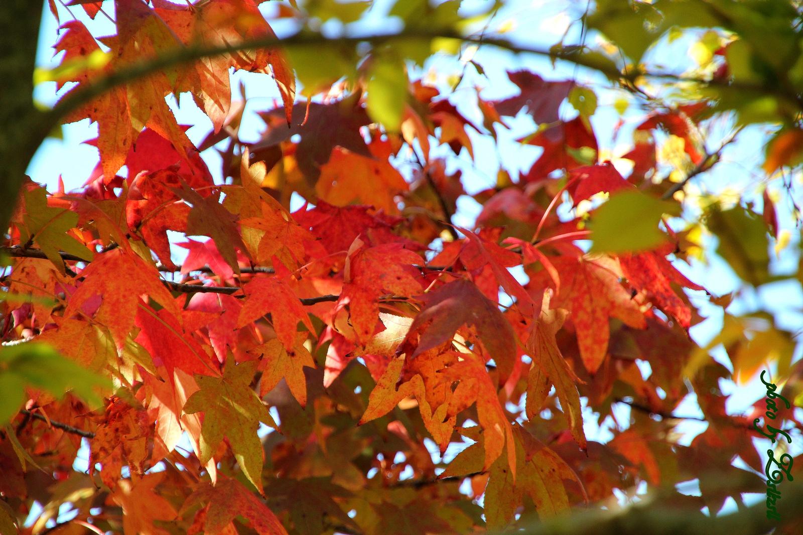 Piros levelű fa