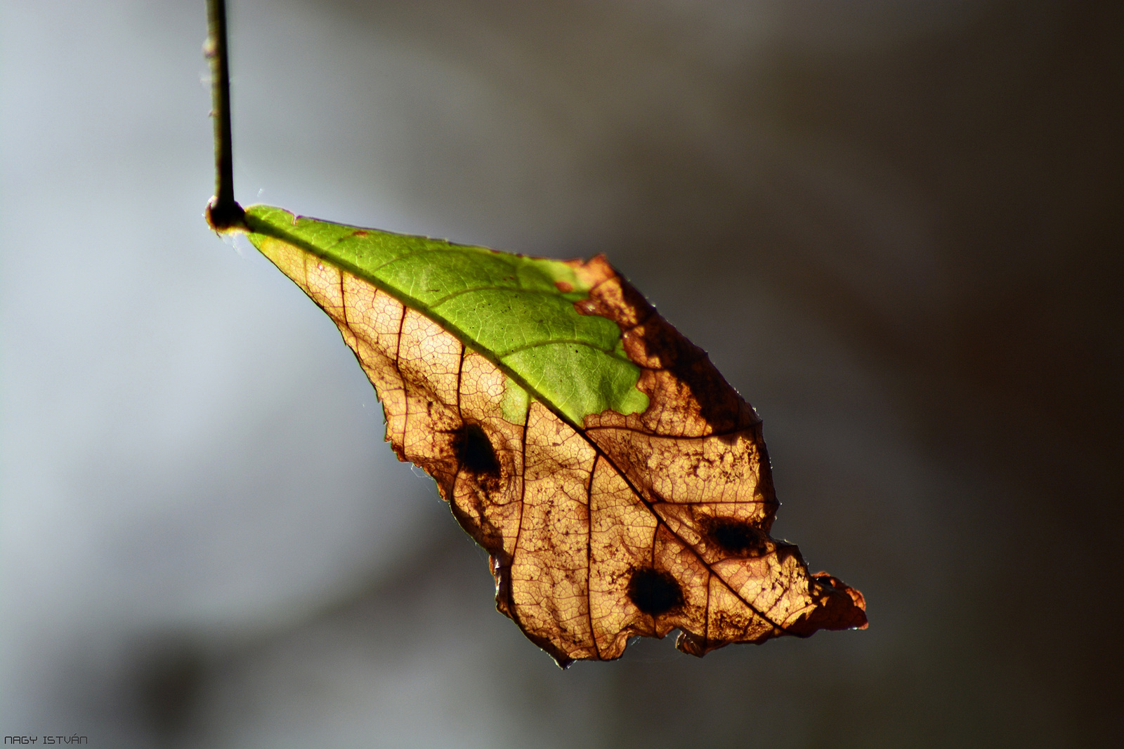 Autumn Leaf 0206