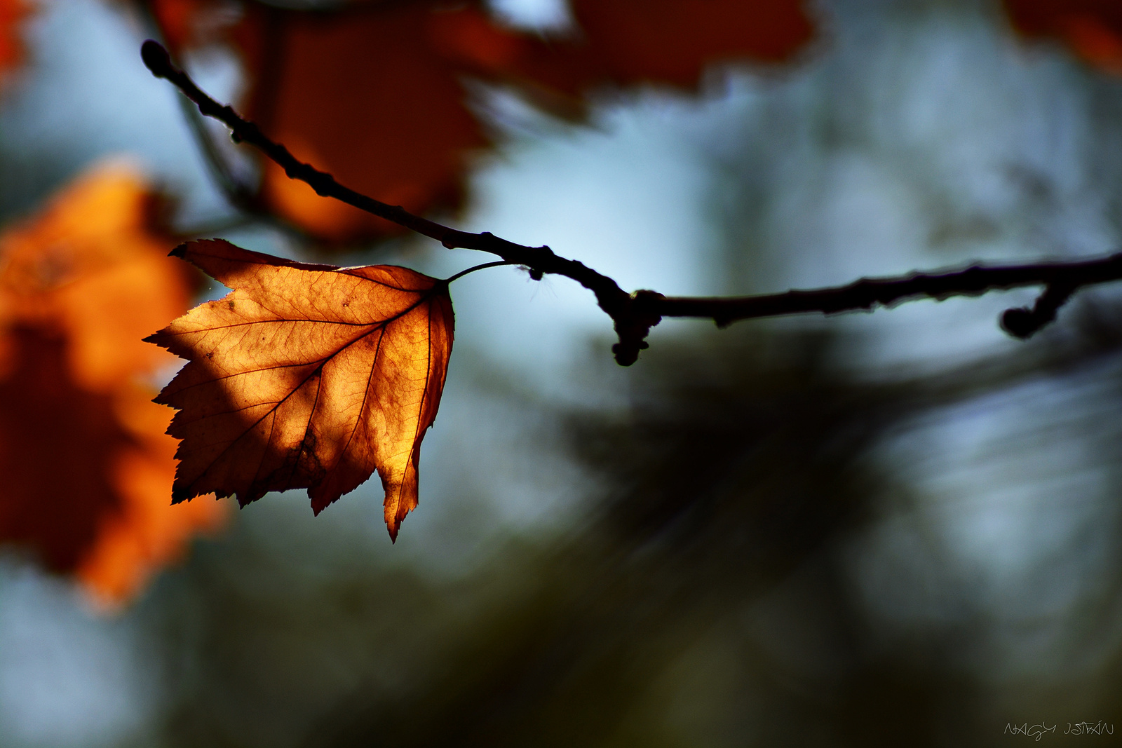 Autumn Leaf 0039
