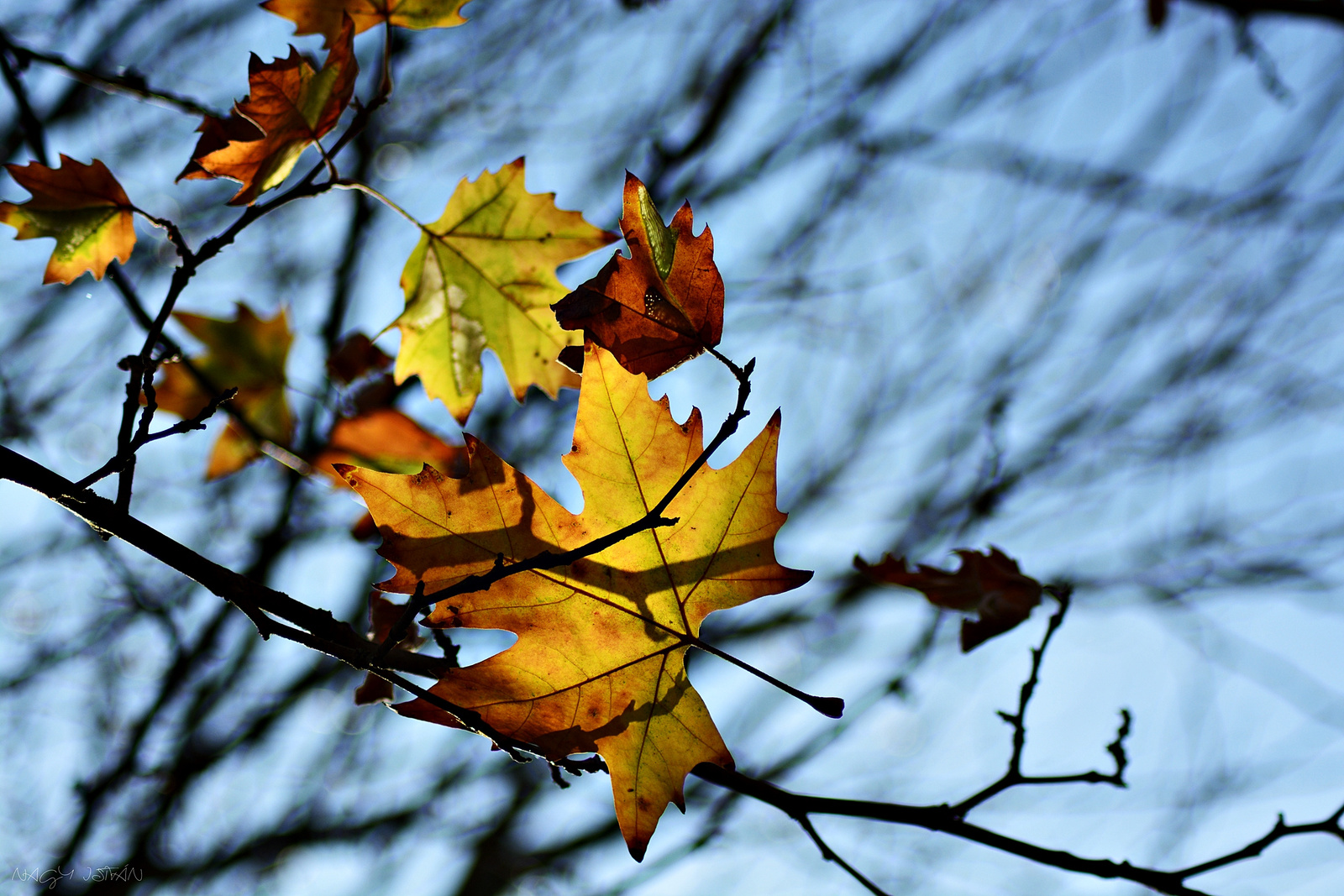 Autumn Leaves 0113