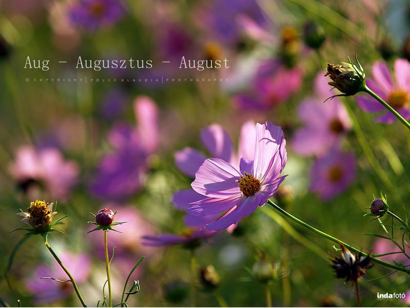 kisklau: pillangóvirág indafoto 2048x1536 másolata - indafoto.hu