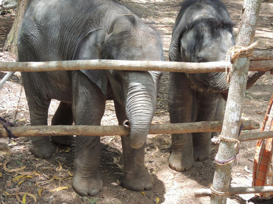 IndiaPass: Indiai elefánt