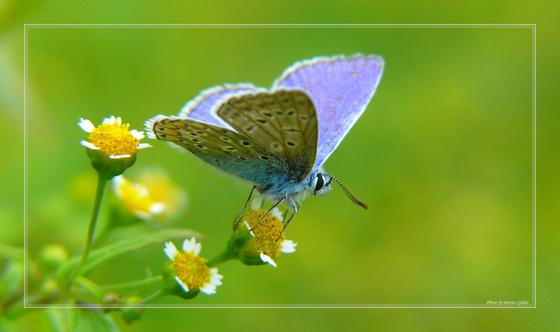 nmb: Pillangókisasszony