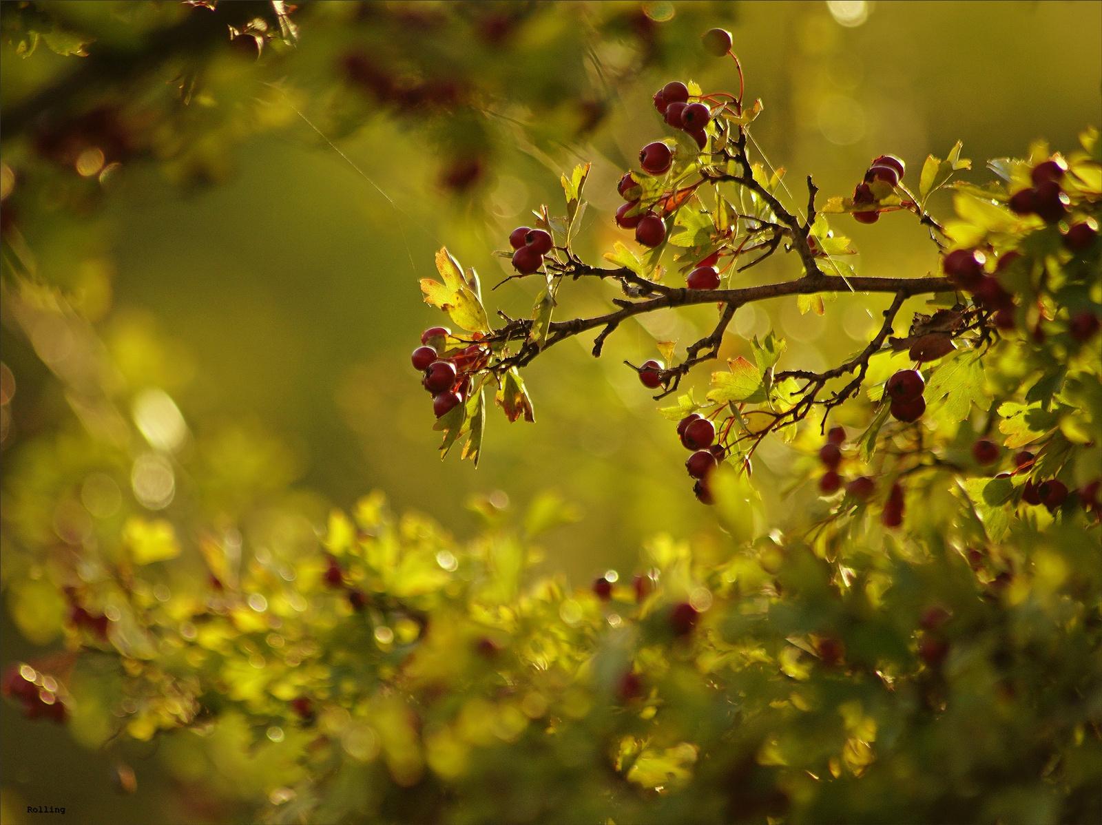 Hálós őszikék