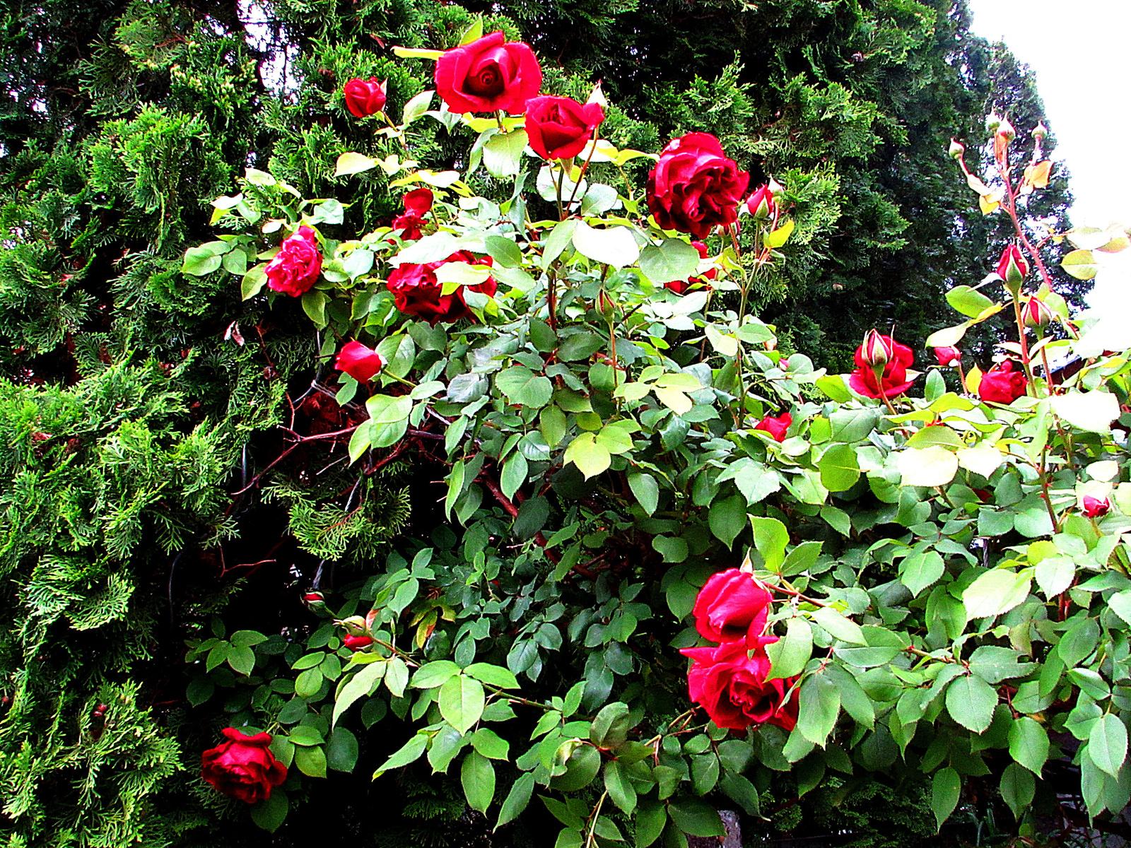 virágzik a rózsa