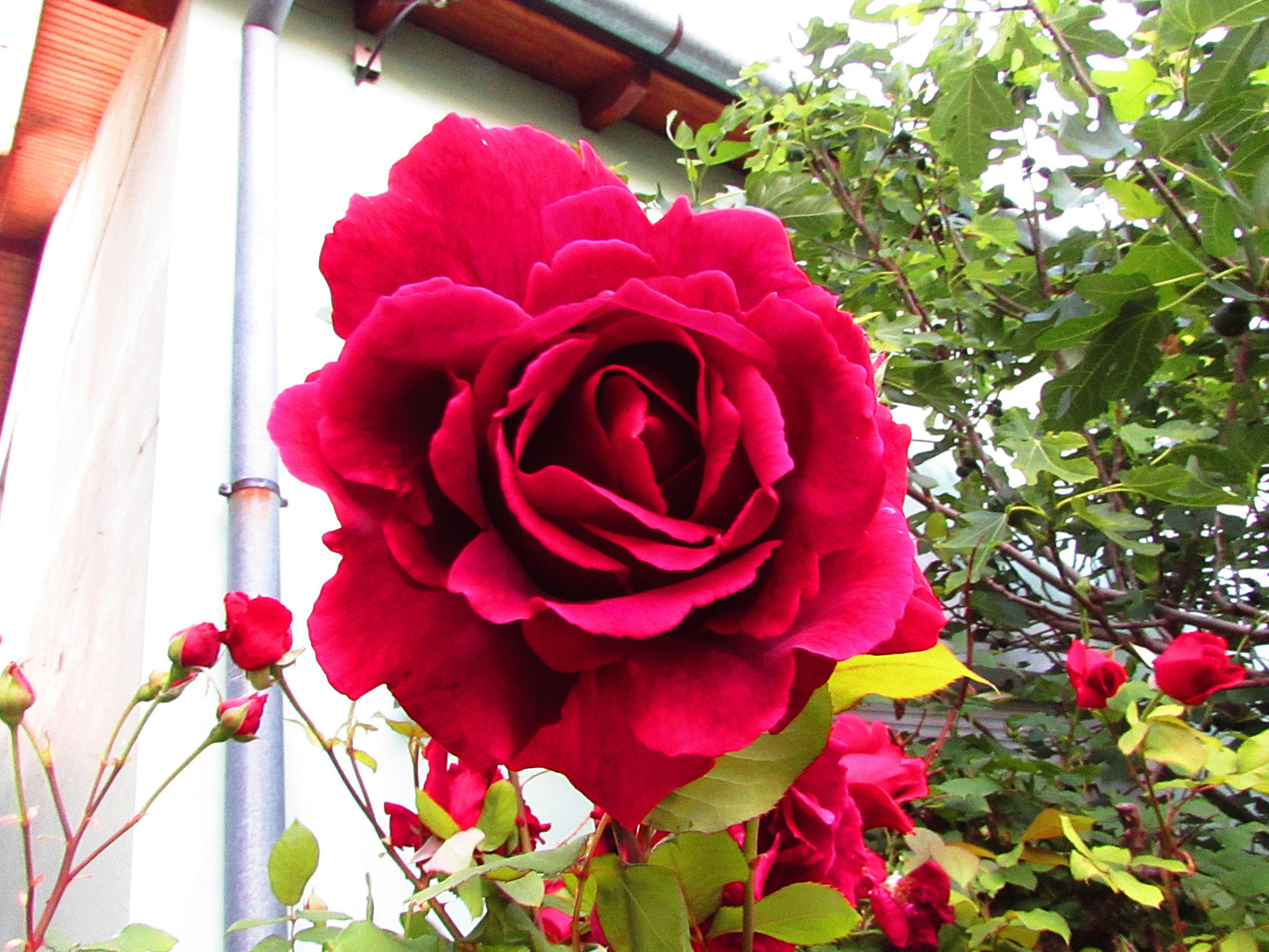 piros rózsák