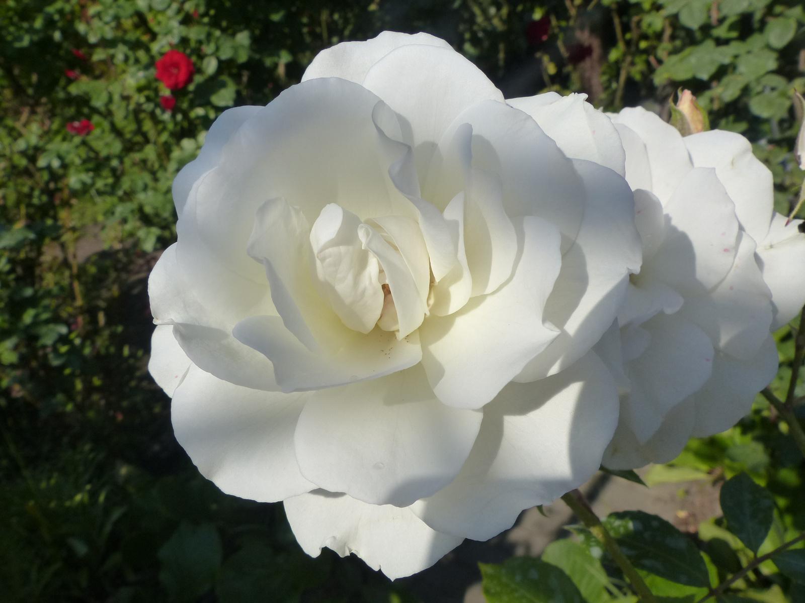 Rózsák otthon, SzG3