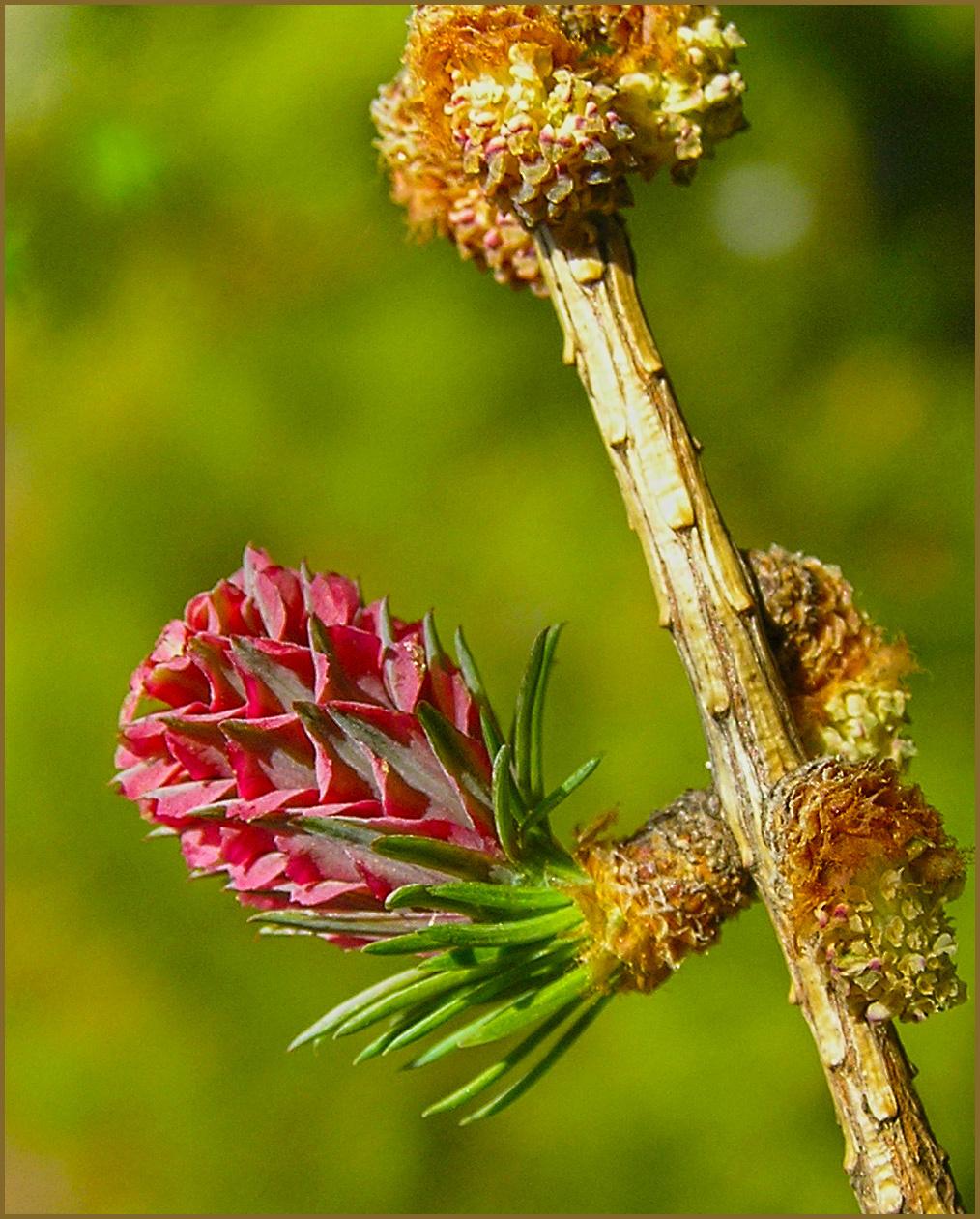 vörösfenyő virága
