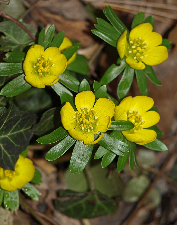 téltemető virág 2014 januárban