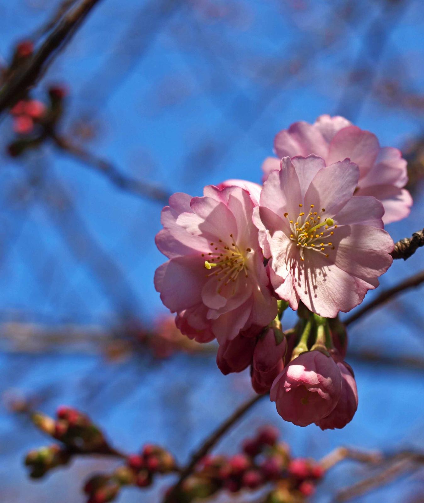 japán cseresznye