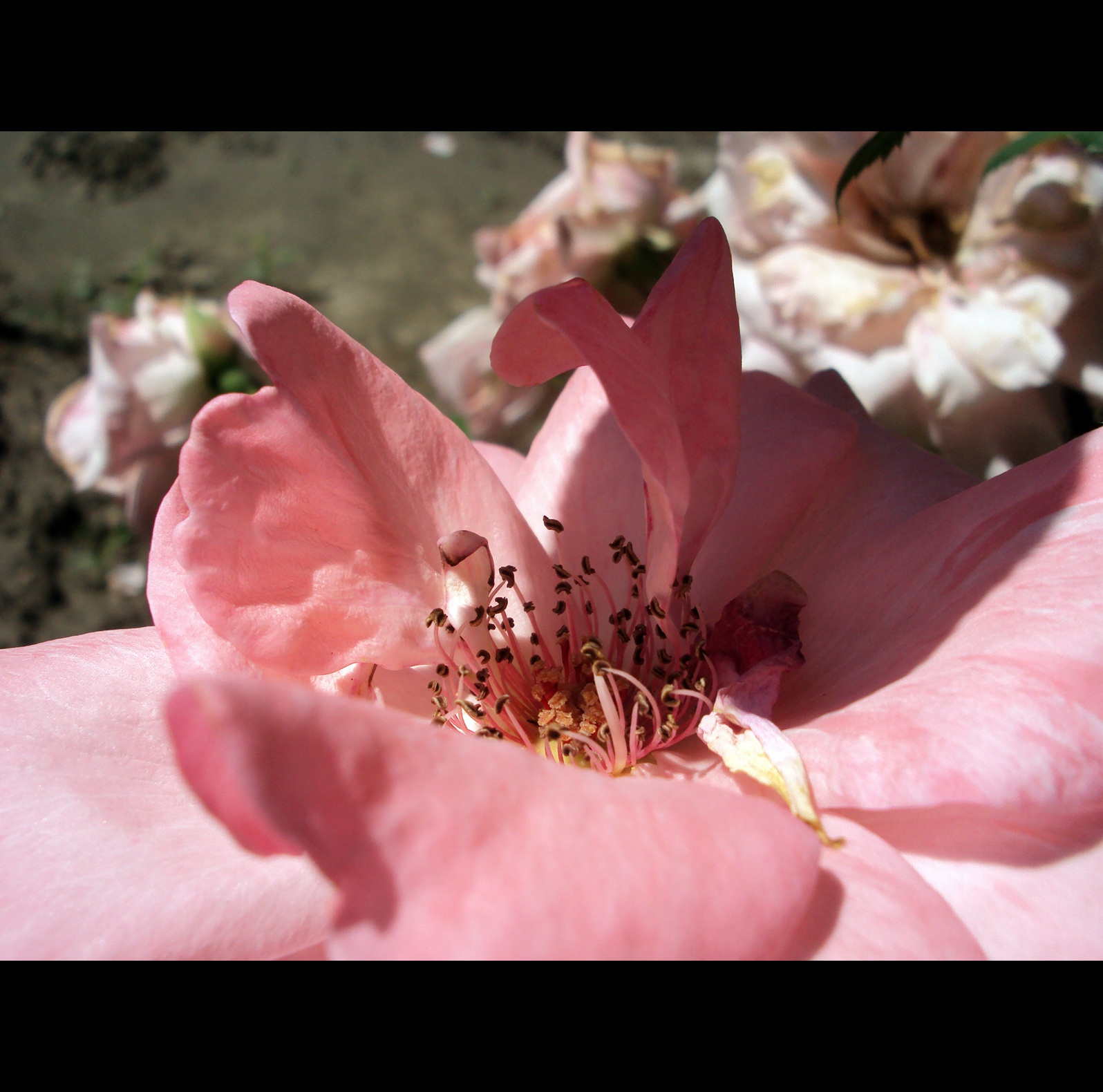 Halovány rózsa