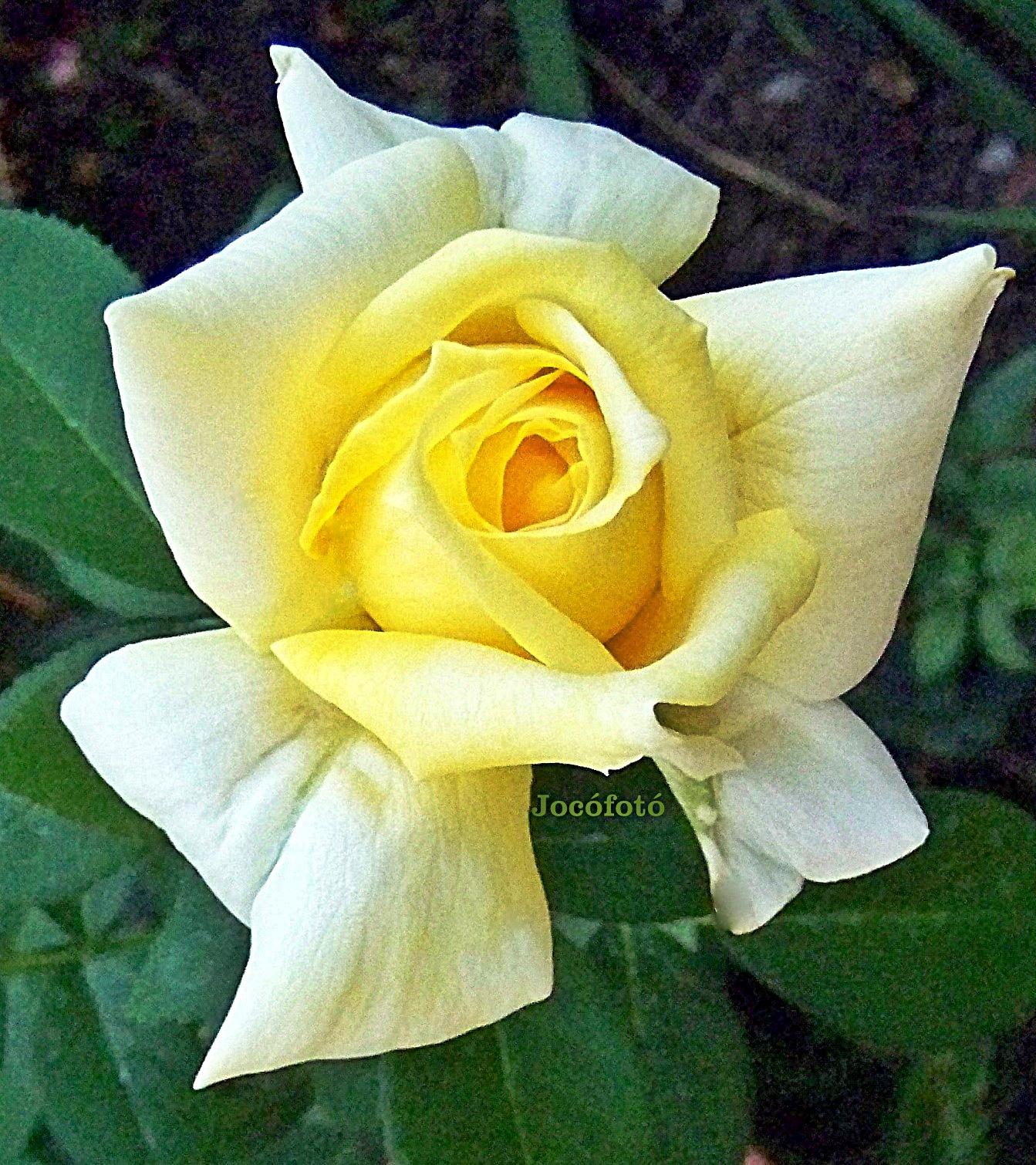 Rózsáim 8107
