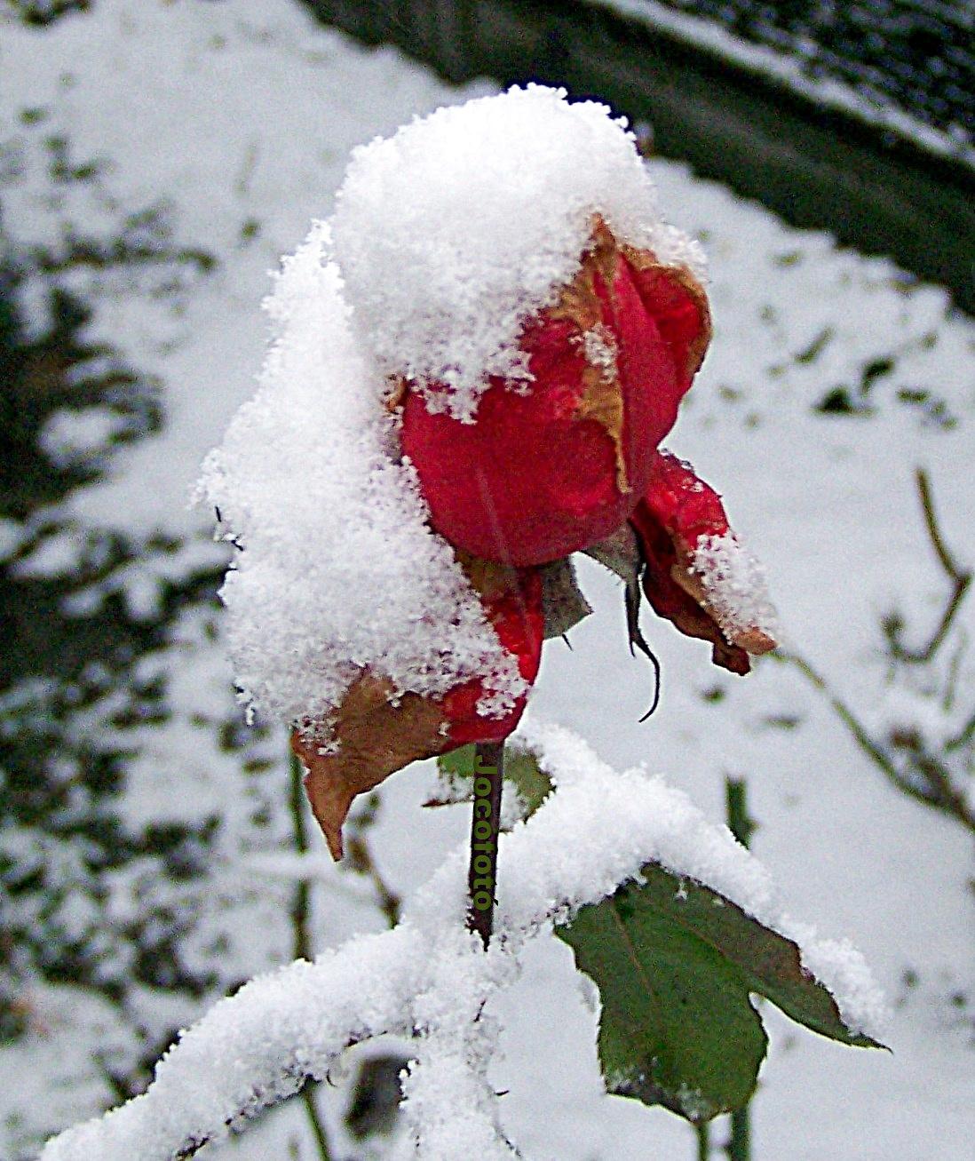 Téli rózsa 8372
