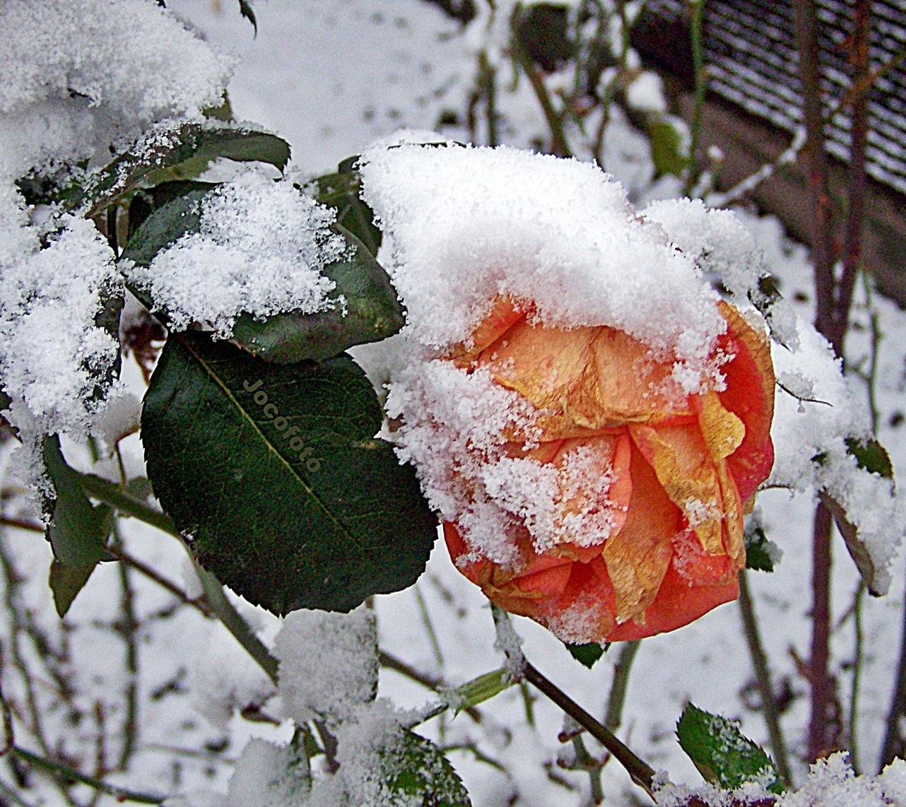 Téli rózsa 8368