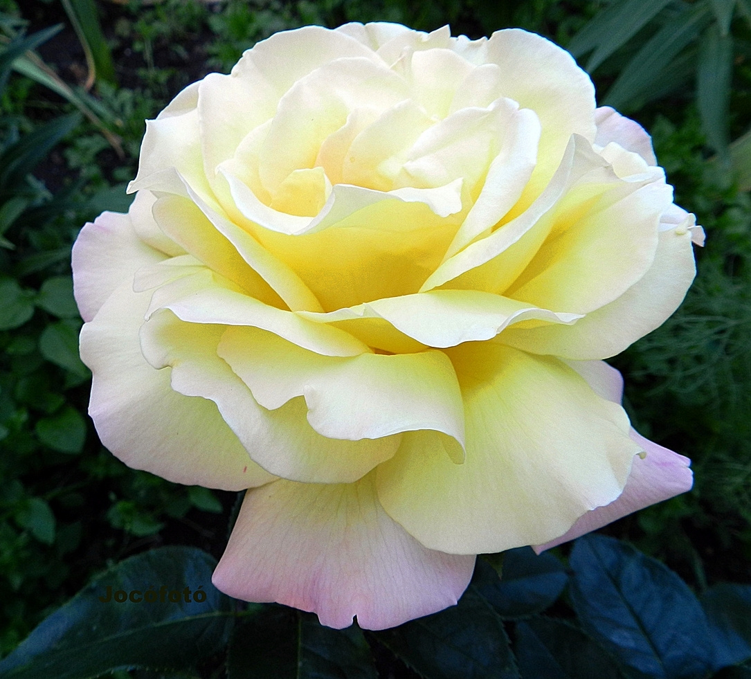 Rózsáim 307