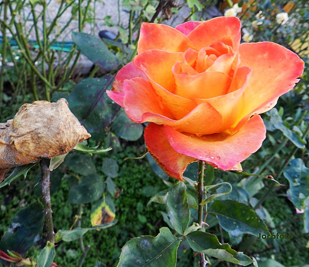 Őszi rózsák 1680