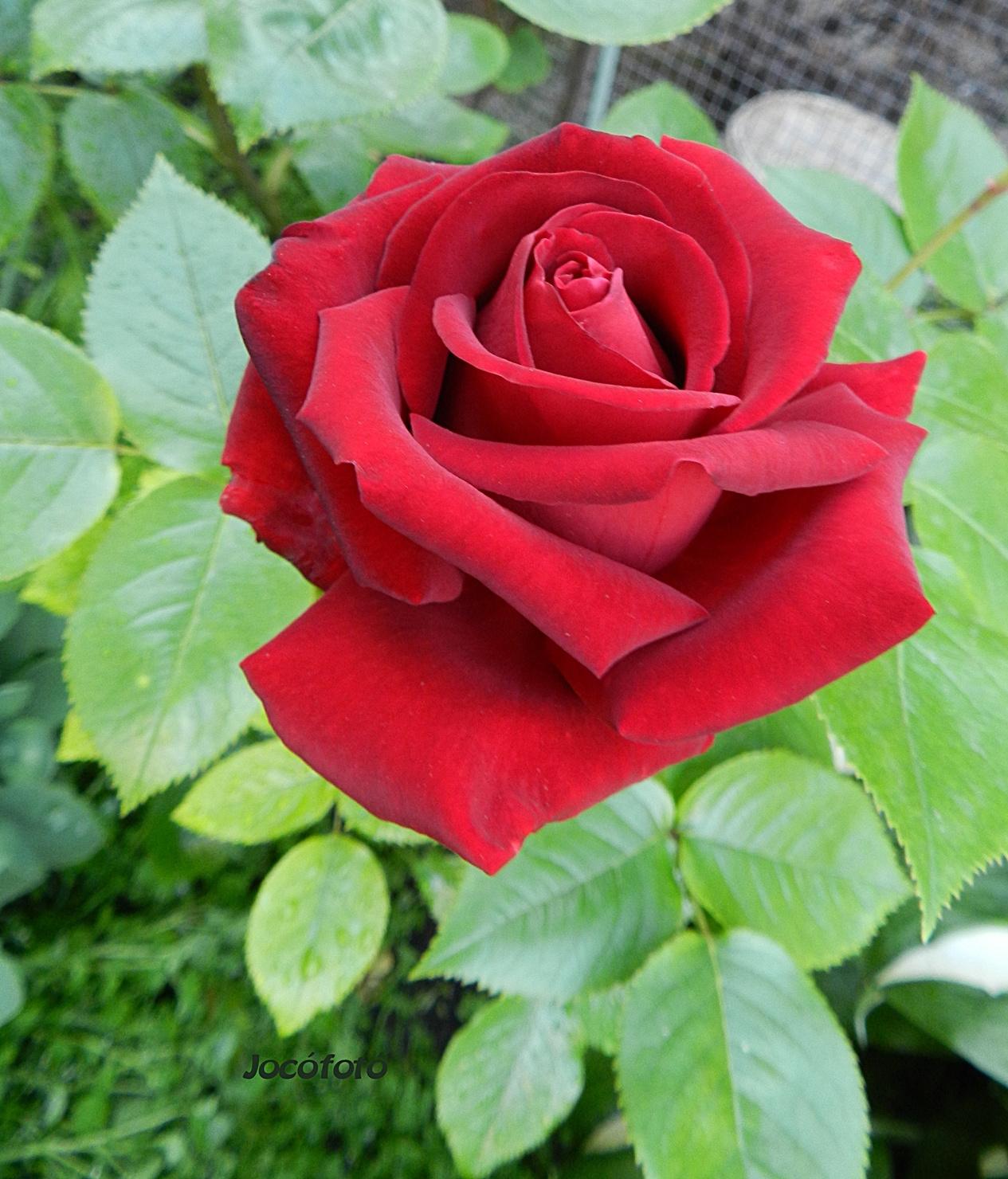 Rózsáim 2387
