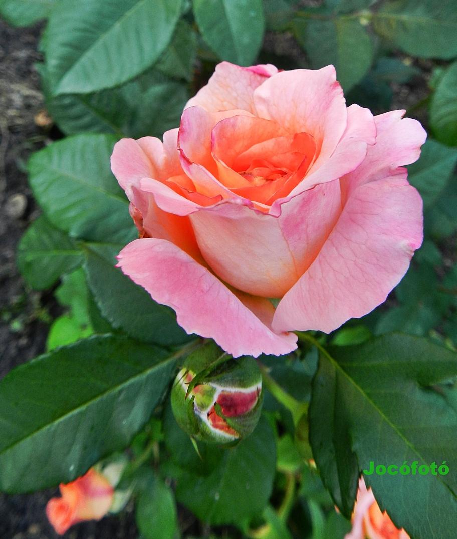 Rózsa 7628