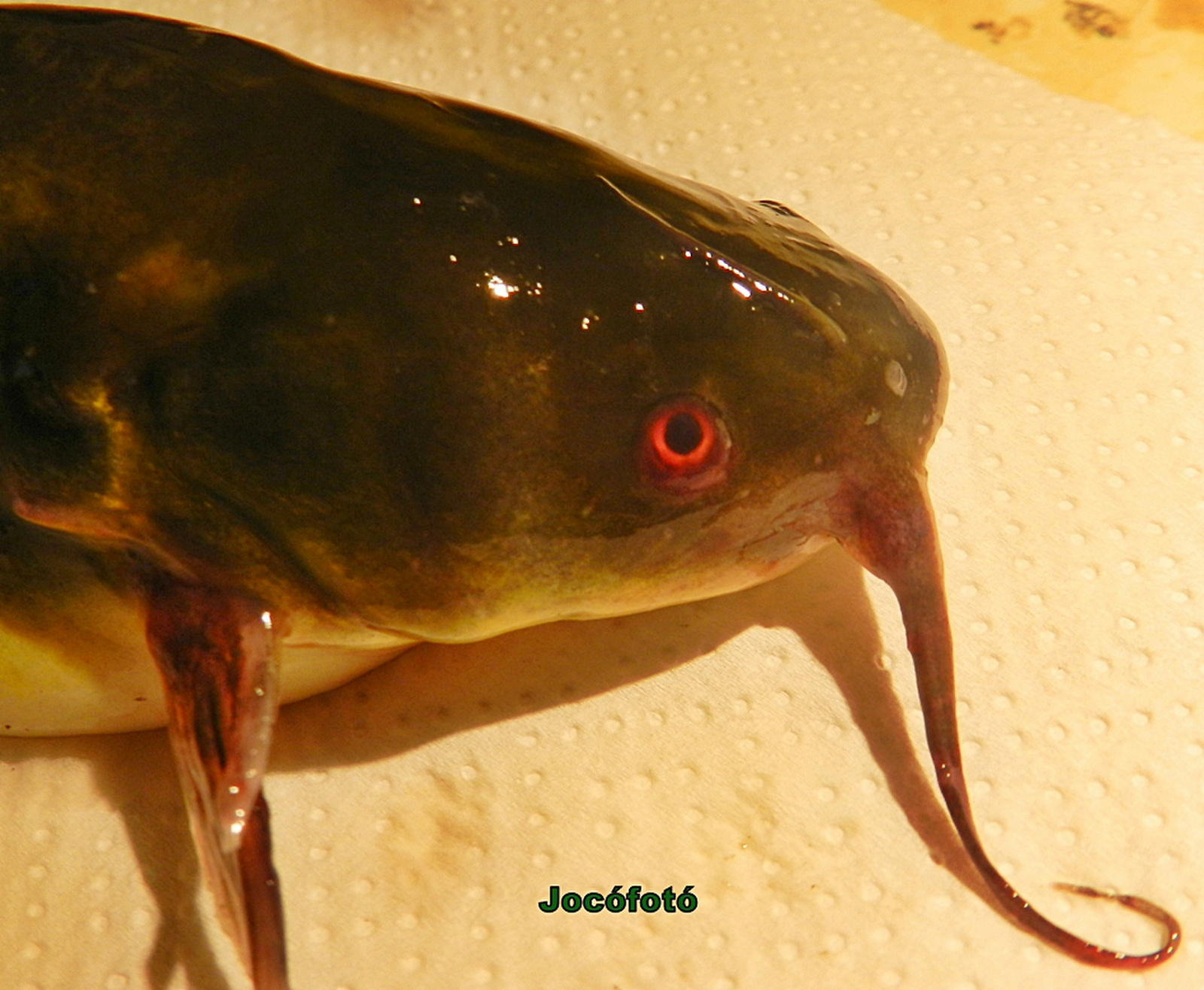 Piros szemű törpeharcsa 9817