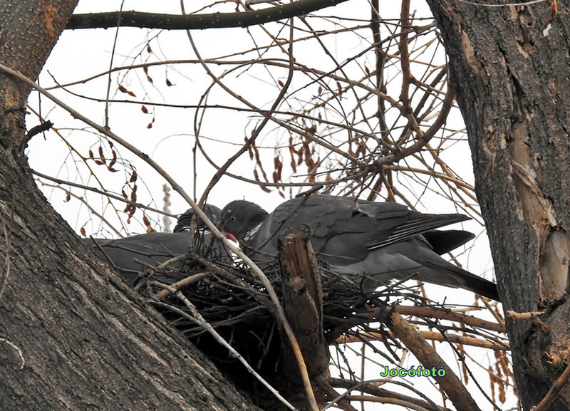 Örvös galambok 1885