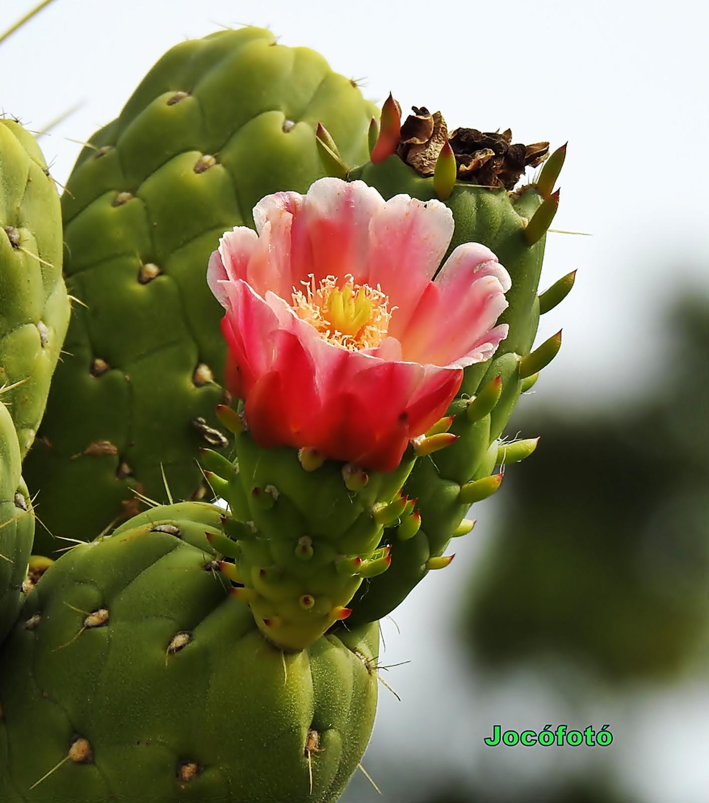 Kaktusz 1351