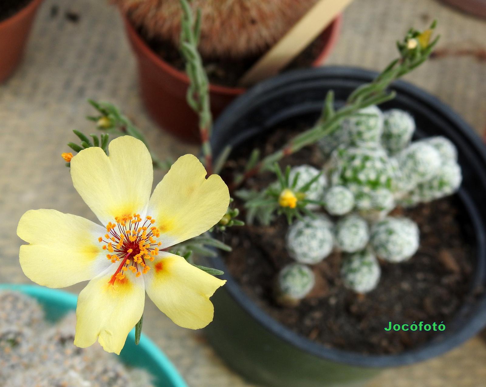 Kaktusz 1405