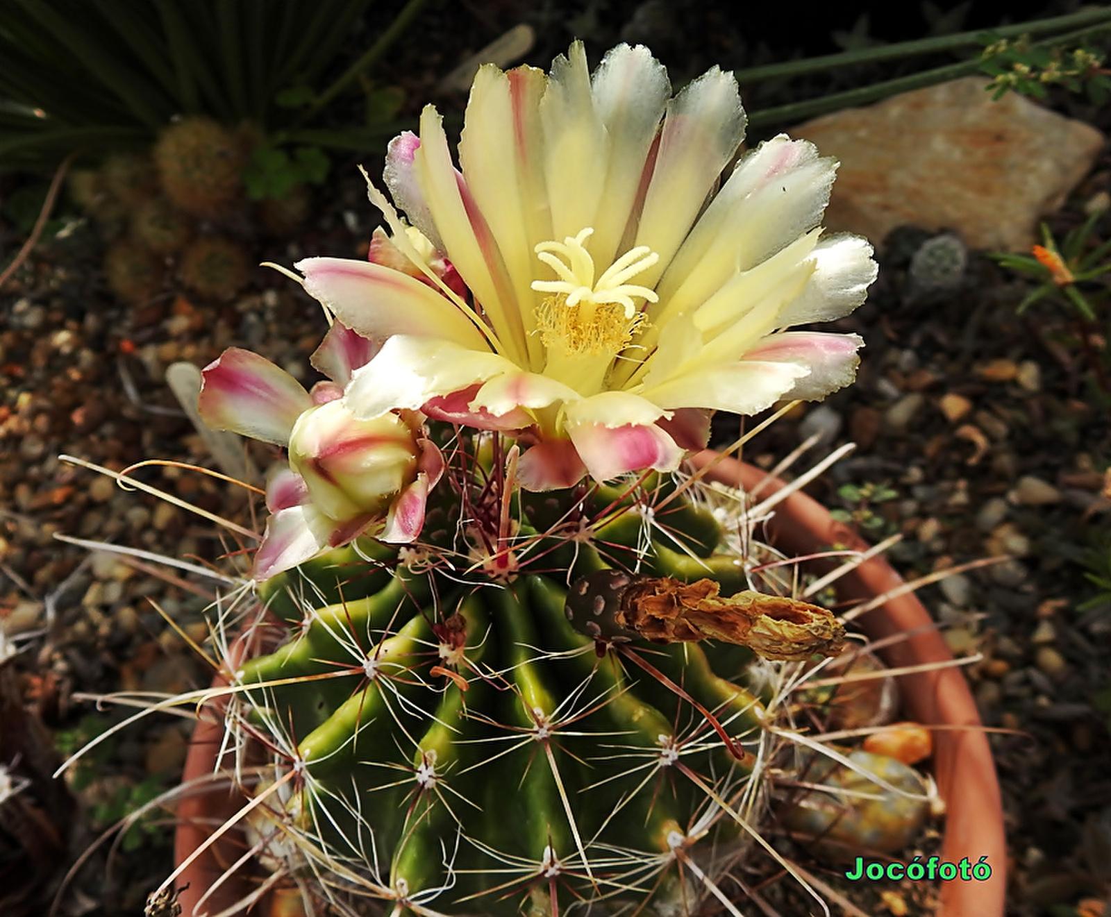 Kaktusz 1398