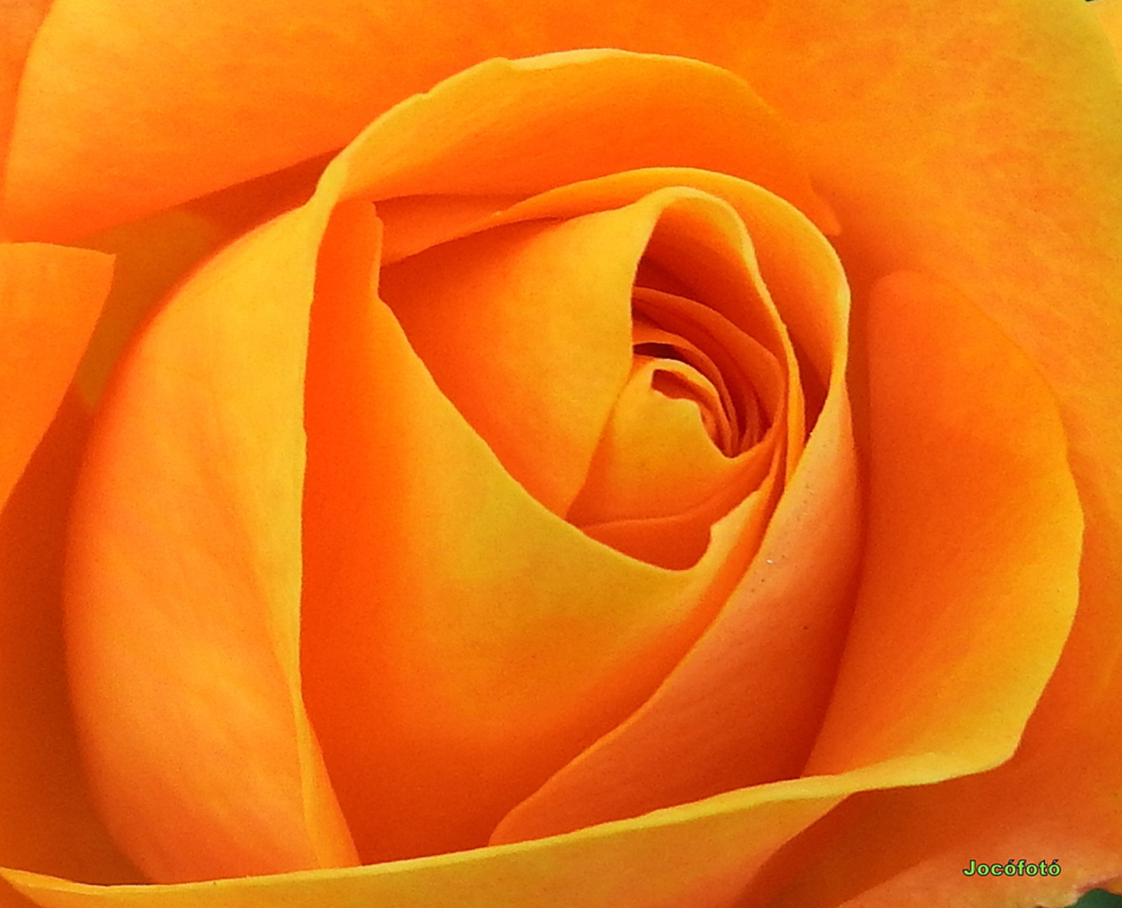 Rózsáim 2074