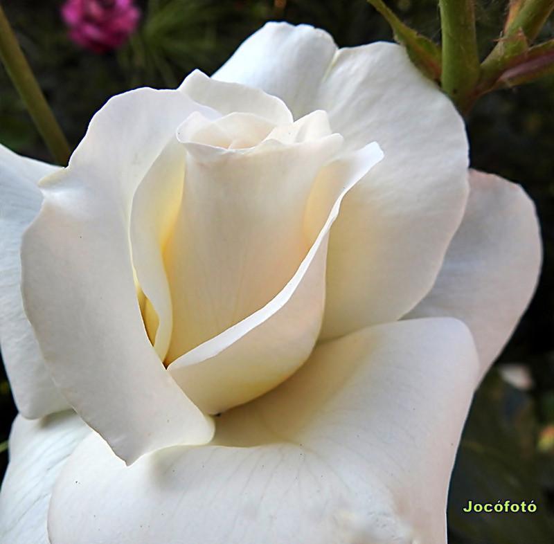 Rózsáim 2057
