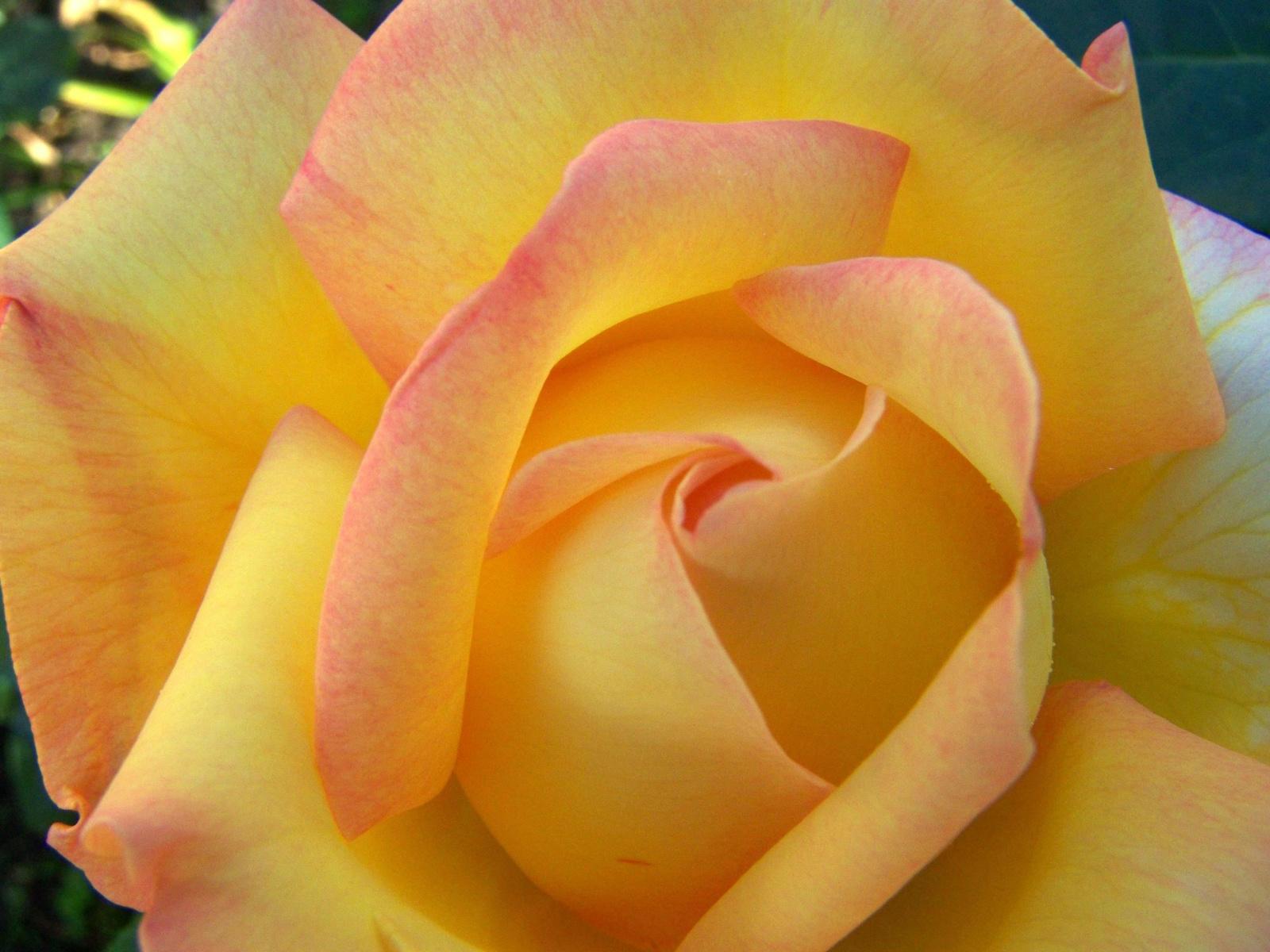 rózsa 2331