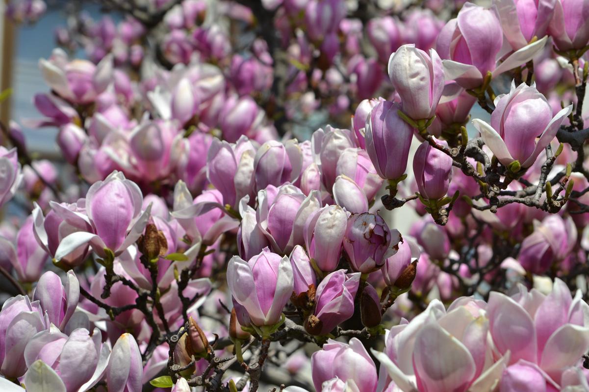tulipán fa