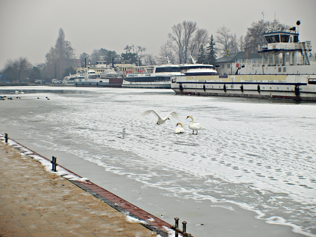 Hattyúk a jégen