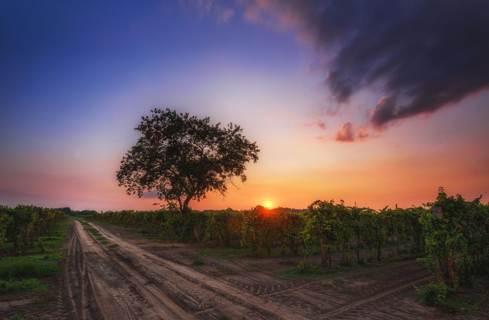 Esti szőlőskert
