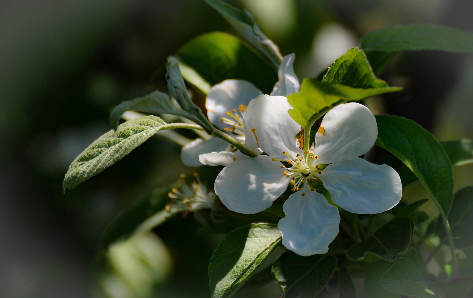 Almafa virága fényben
